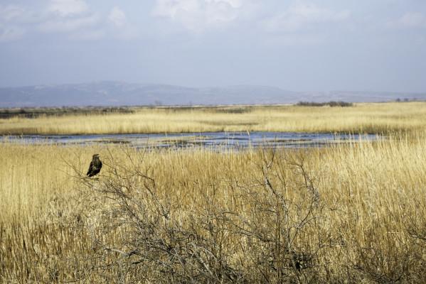 Raubvogel im Evros-Delta