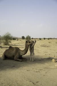 jaisalmer - Thar Desert