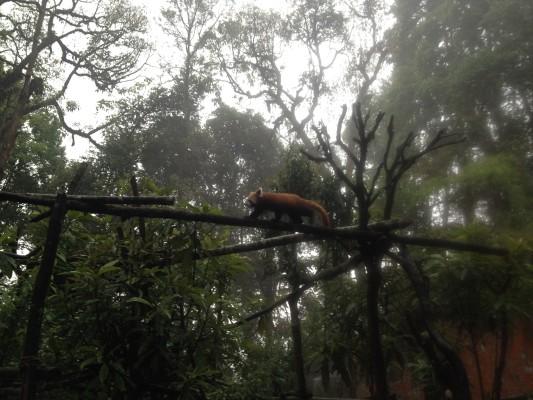 der Rote Panda
