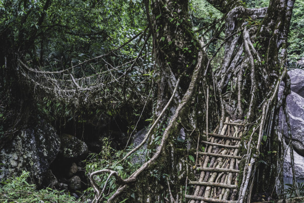 Brücken aus Wurzeln